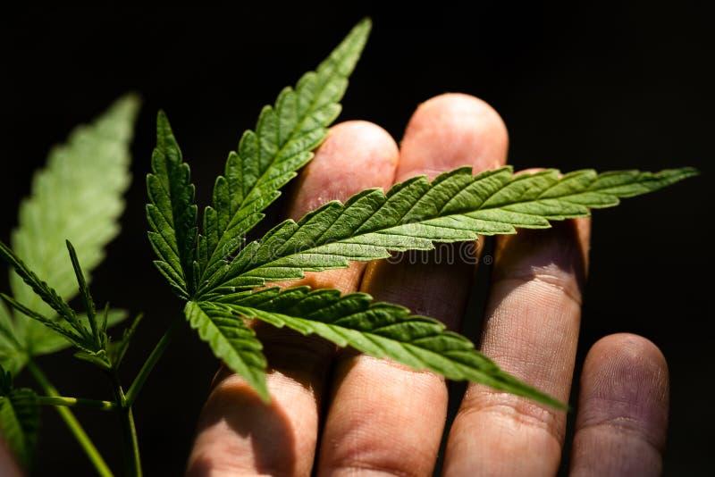 Cannabis op een donkere achtergrond stock afbeelding