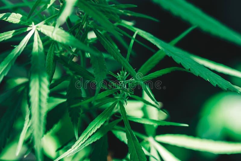 Cannabis op een zwarte achtergrond stock afbeelding