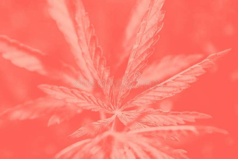 Cannabis på mörk korallbakgrund Marijuana lämnar grönt kopieringsutrymme royaltyfri fotografi