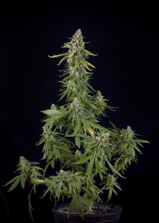 Cannabis planterar att växa på wi för en belastning för marijuana för krukabrandliten vik royaltyfri fotografi