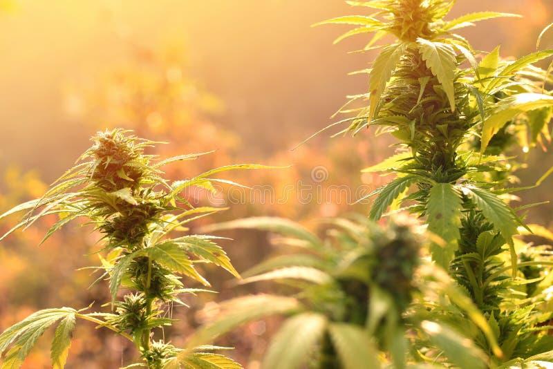 Cannabis planterar att växa utomhus, tänt av varmt morgonljus royaltyfria foton
