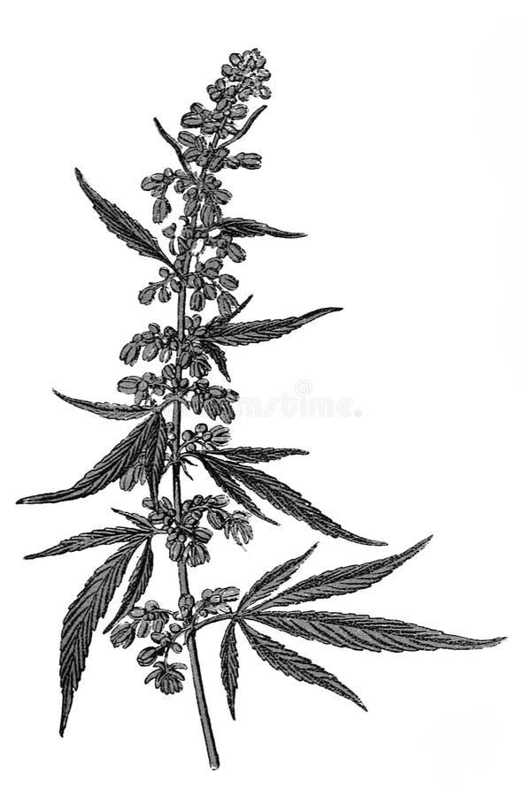 Cannabis sativa illustratie stock afbeeldingen