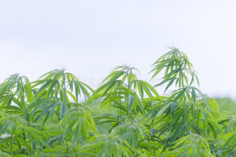 Cannabis sativa, marihuana leaves, photography of medical plant stock photo