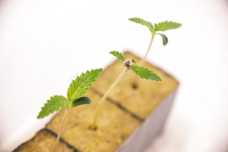 Cannabis sprouts on early stages or growth, over white royalty free stock photo