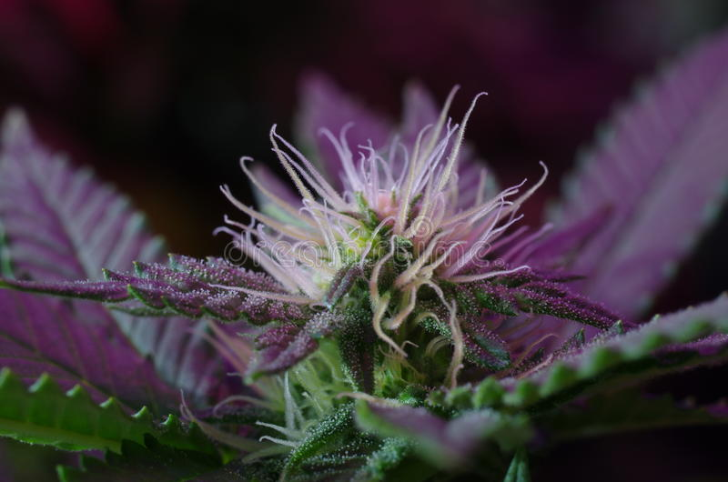 Cannabis stigmas royalty free stock images