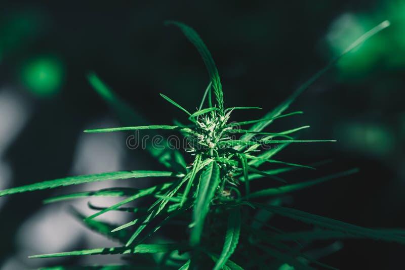 Cannabis su un fondo nero immagini stock
