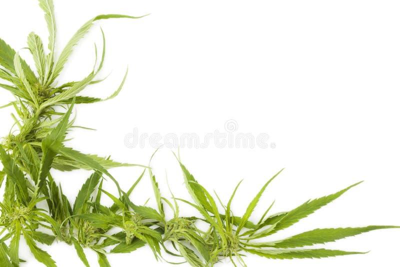 Cannabisachtergrond met exemplaarruimte royalty-vrije stock afbeelding