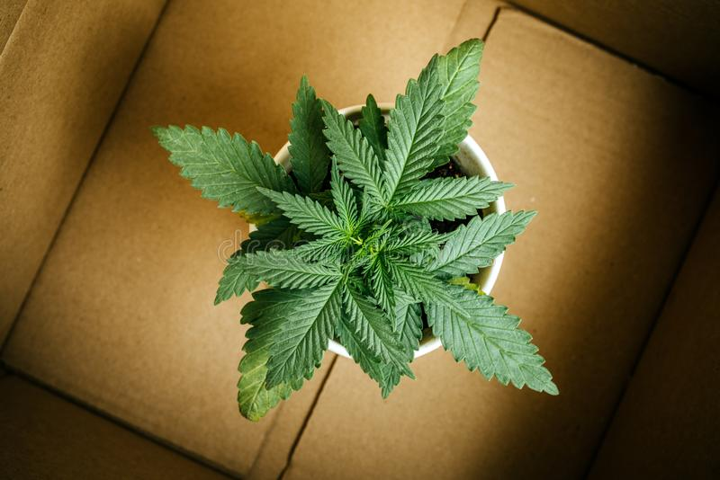Cannabisaffär och leverans av marijuanaväxter och plantor royaltyfri fotografi