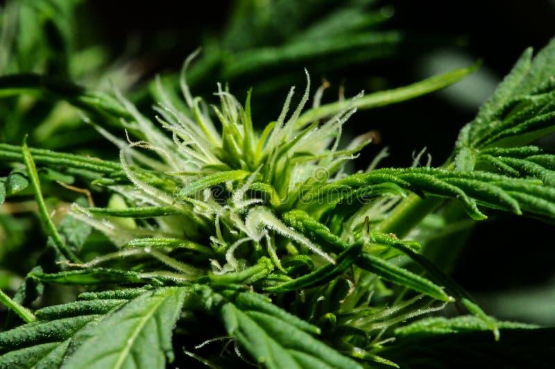 Cannabisbakgrund royaltyfria foton