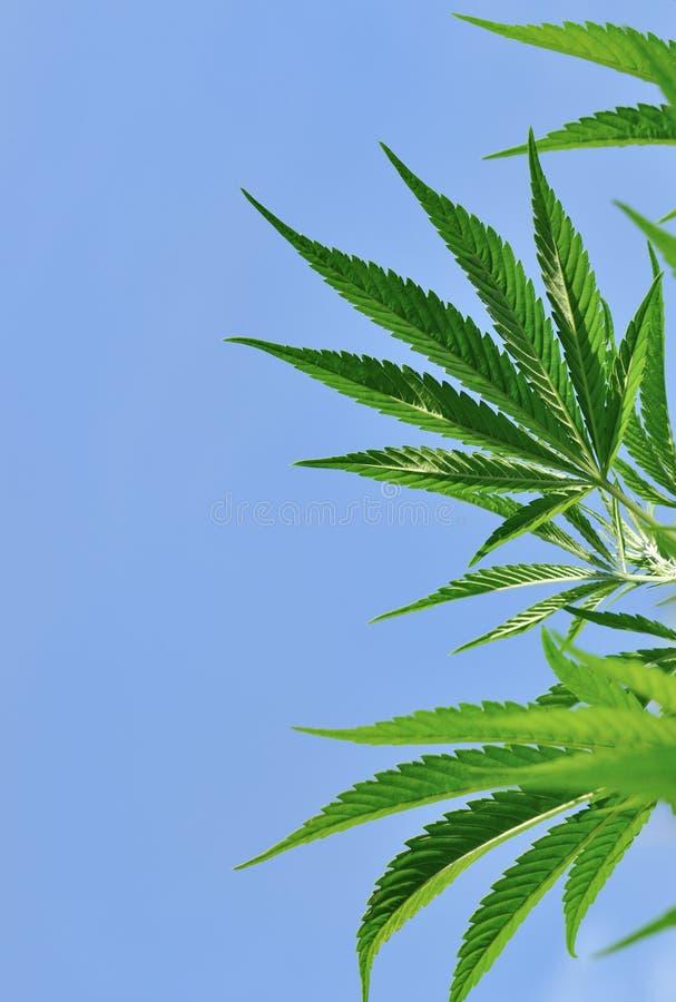Cannabisblad arkivfoton
