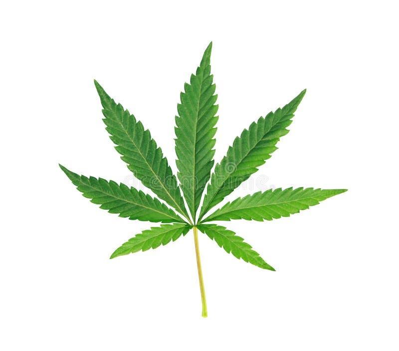Cannabisblad, marihuana over wit wordt geïsoleerd dat stock foto's
