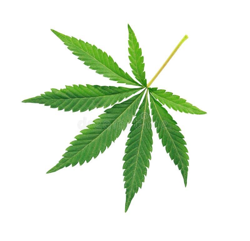 Cannabisblad, marihuana over wit wordt geïsoleerd dat stock fotografie