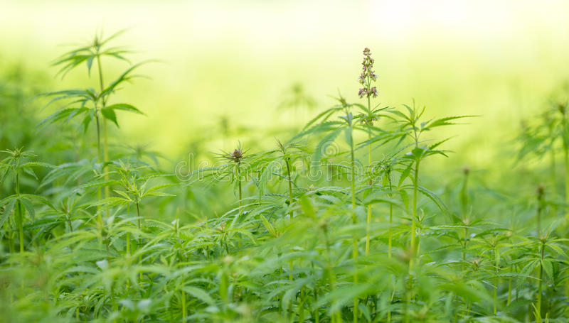 Cannabisblad, marihuanainstallatie stock foto's