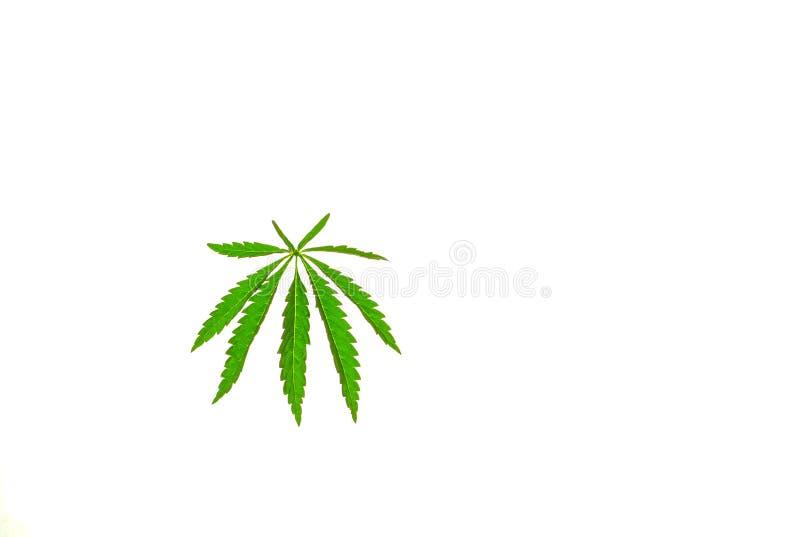 Cannabisbladmarijuana på en isolerad bakgrund riktade ljus på objektet arkivbilder