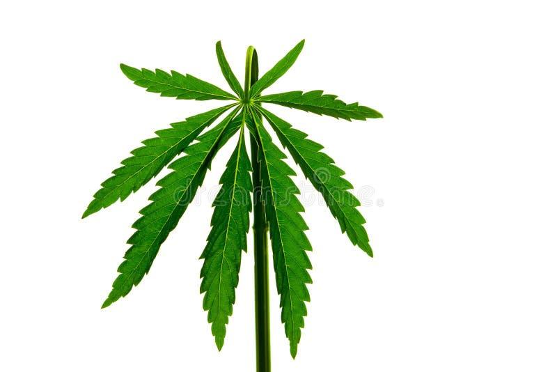 Cannabisbladmarijuana på en isolerad bakgrund riktade ljus på objektet arkivfoton