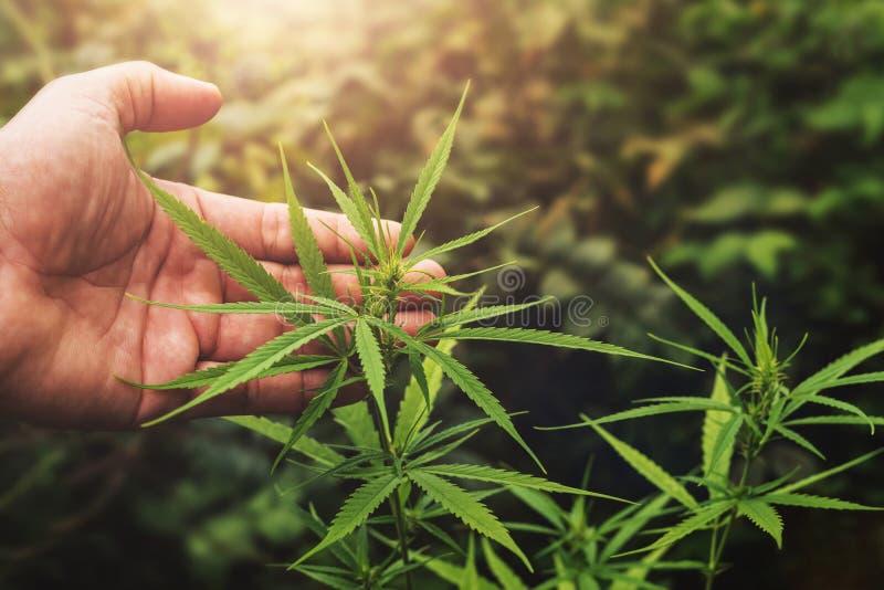 Cannabisblatt von Hand in Betrieb mit Sonnenuntergang lizenzfreie stockfotografie