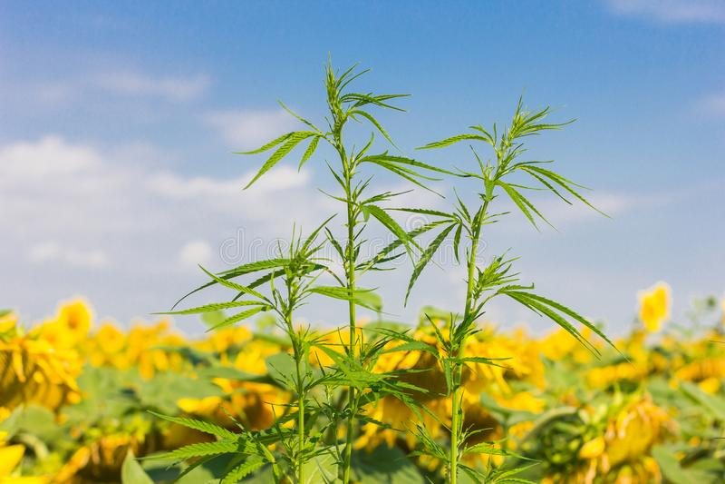 Cannabisbuske på bakgrunden av ett blommande fält av solrosen arkivbilder