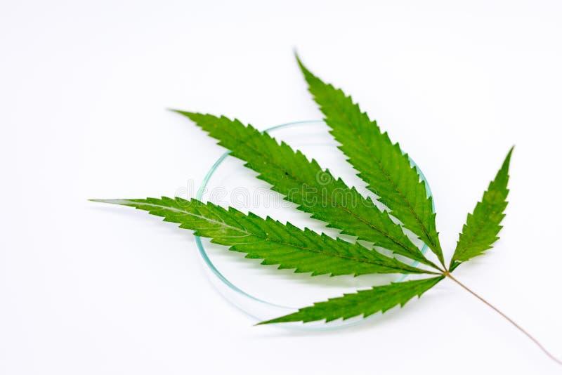 Cannabisdrugs, Analyse van Cannabis in laboratorium stock foto