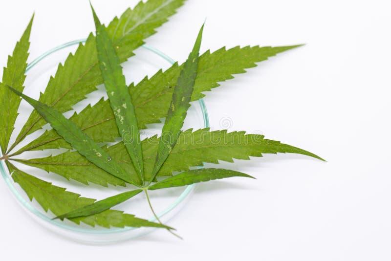 Cannabisdrugs, Analyse van Cannabis in laboratorium stock foto's