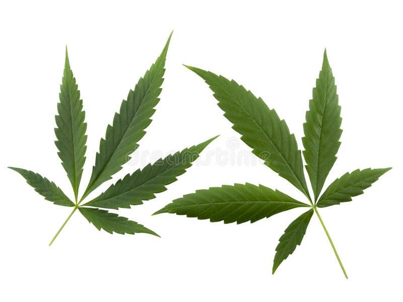 cannabishemp arkivbild