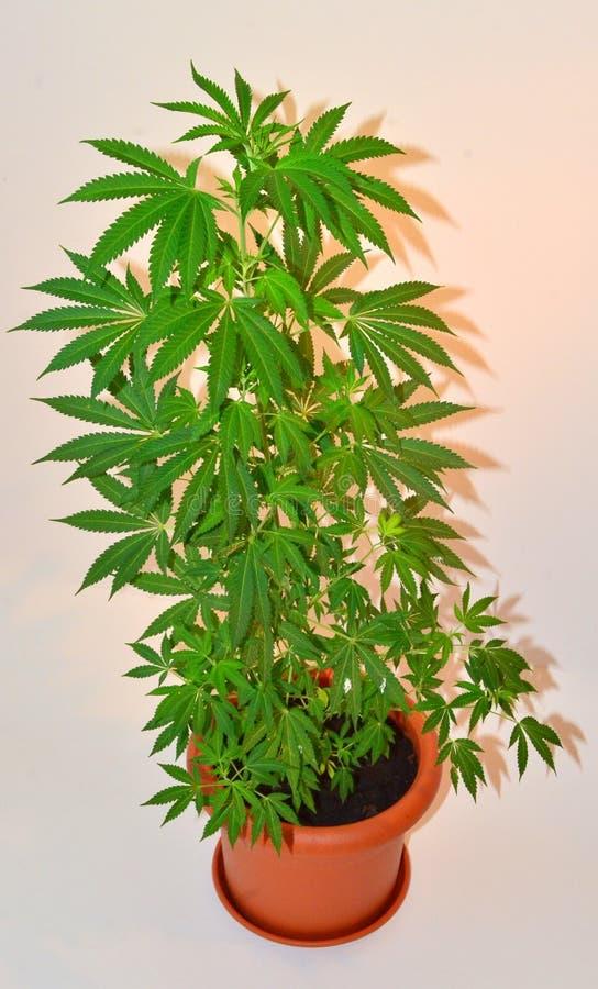 Cannabisinstallatie royalty-vrije stock afbeelding