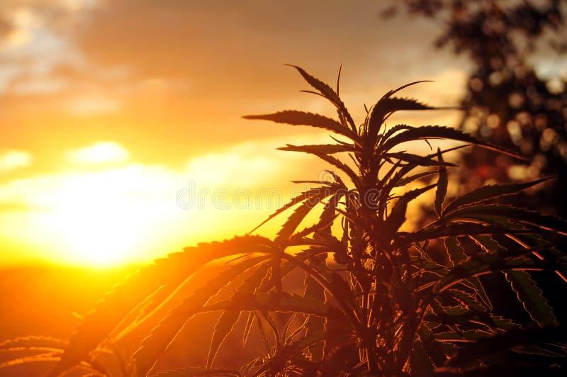 Cannabisinstallatie bij zonsopgang stock foto