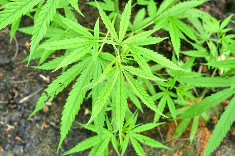 Cannabisinstallatie, marihuana in aard royalty-vrije stock foto