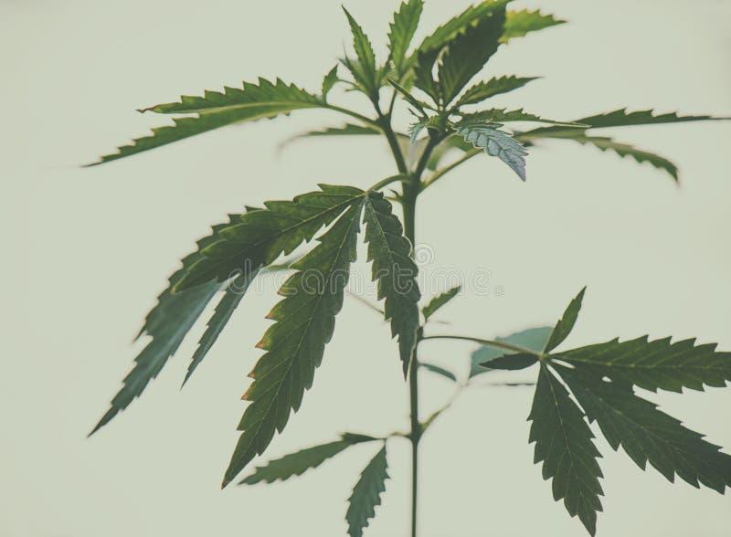 Cannabisinstallatie - medische marihuanaachtergrond stock afbeeldingen