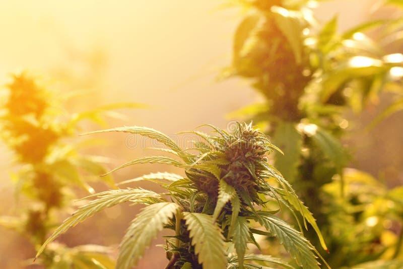 Cannabisinstallatie in openlucht groeien, aangestoken door warm ochtendlicht royalty-vrije stock fotografie