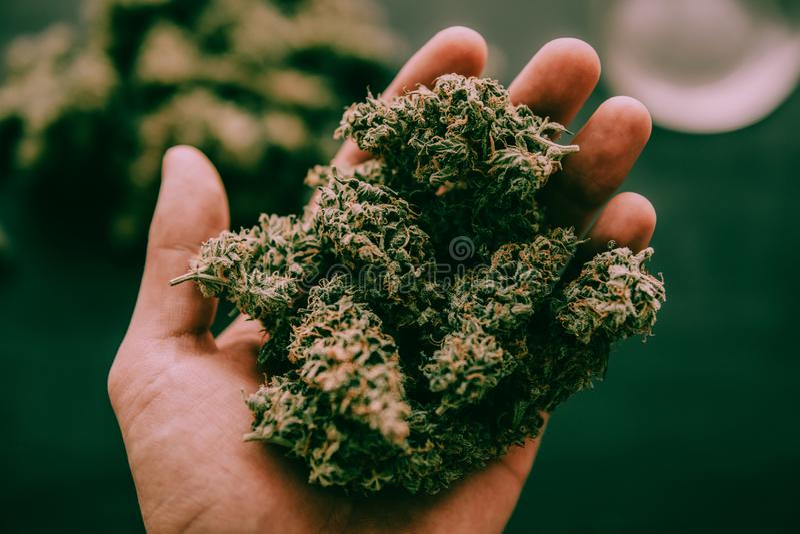 Cannabisknoppar i hand av manmakroen av den lynniga gröna signalen för cannabisogräsmarijuana royaltyfri fotografi
