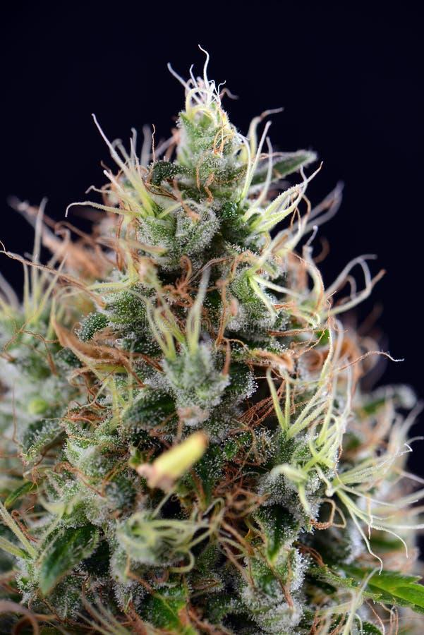 Cannabiskola & x28; Zure Diesel marihuana strain& x29; met zichtbare tricho royalty-vrije stock foto's