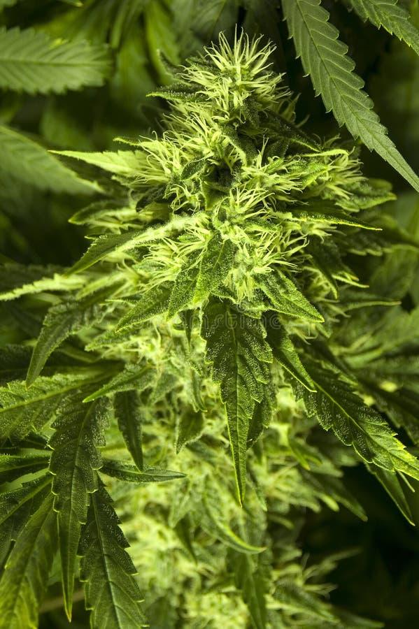cannabiss sativa photos libres de droits