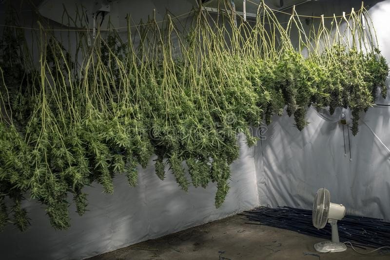 Cannabisväxtknoppar som hänger i inomhus lantgård fotografering för bildbyråer