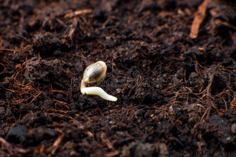 Cannabiszaden in de grond, de germinatie en de cultuur van installatie stock afbeeldingen