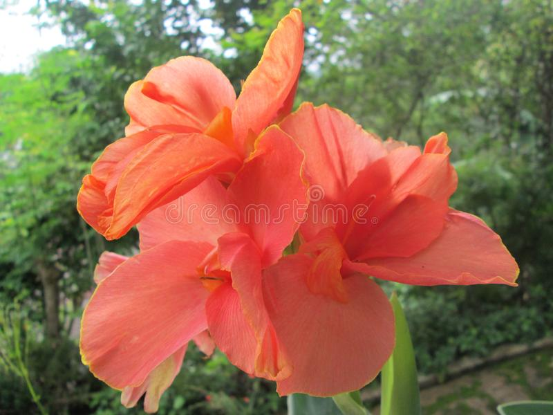 20 Seeds Yellow Canna indica shot Butsarana Canna Lily Flowers Seeds