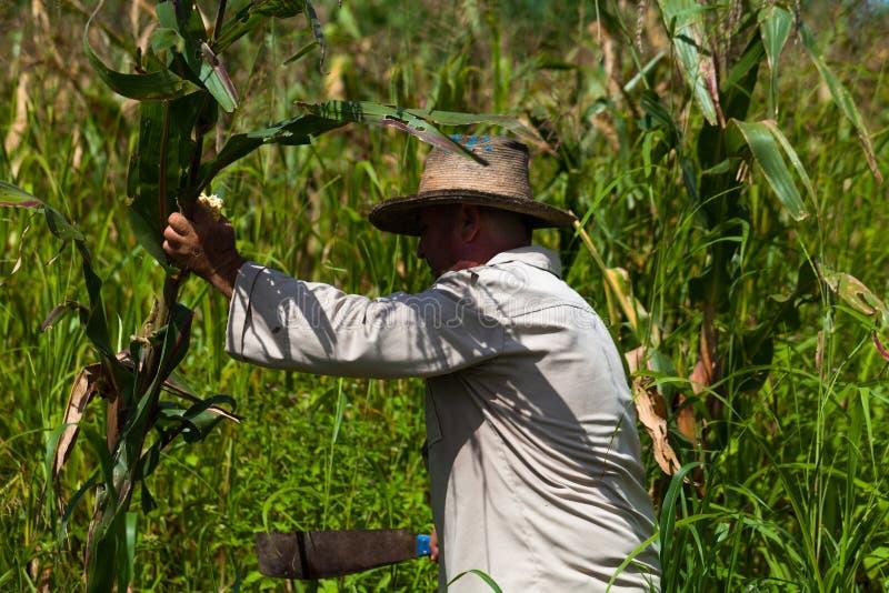 Canne à sucre cubaine de coupe d'agriculteur sur le champ photographie stock libre de droits