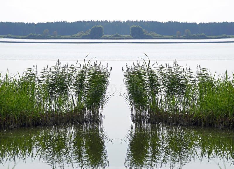 Canne alla riva sul lago Superficie dell'acqua e del lago riflessione Estate fotografia stock libera da diritti