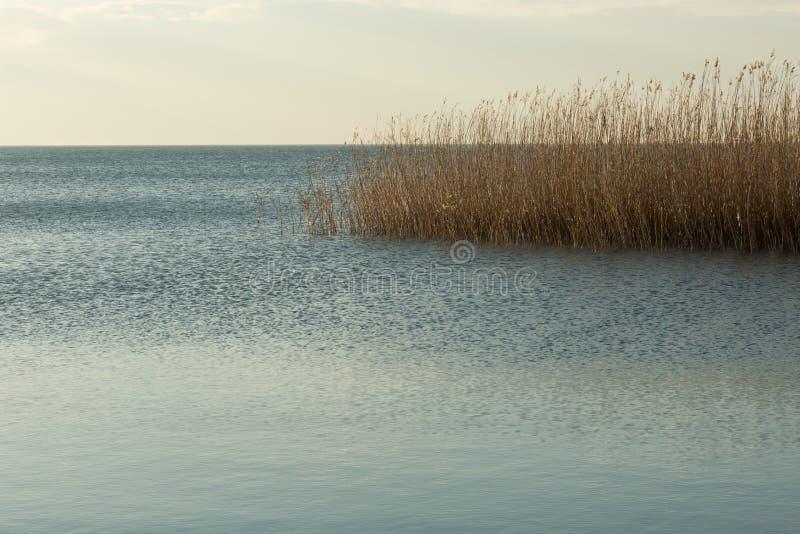 Canne che crescono nel lago Nicea immagini stock