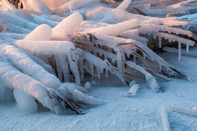Canne congelate su un fiume nell'inverno fotografie stock