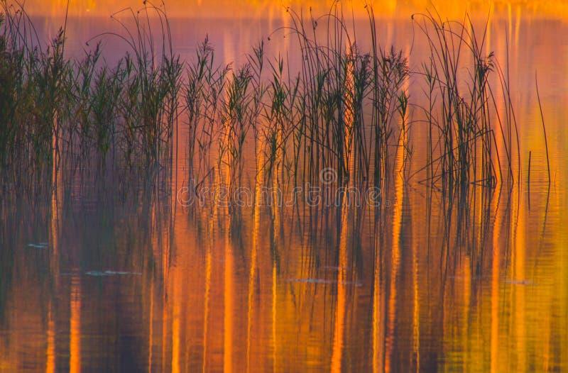 Canne del lago fotografie stock