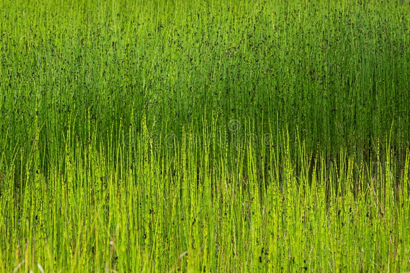 Canne ed erbe della palude come un giallo e fondo verde della natura immagini stock libere da diritti