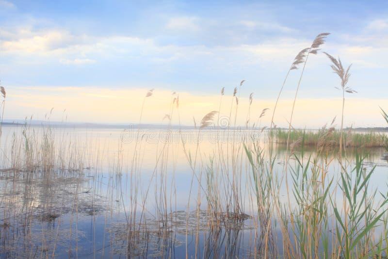 Canne graziose che ondeggiano morbidamente nel lago dorato blu fotografia stock libera da diritti