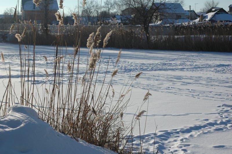 Canne sui precedenti di un fiume congelato ed innevato fotografia stock