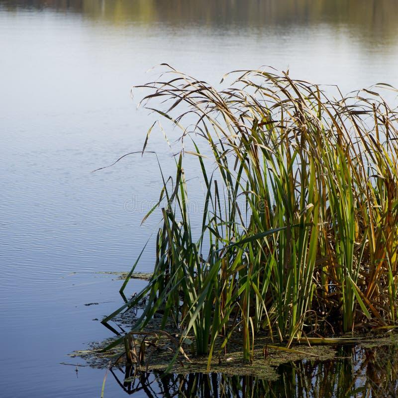 Canne sulla sponda del fiume un giorno soleggiato immagini stock