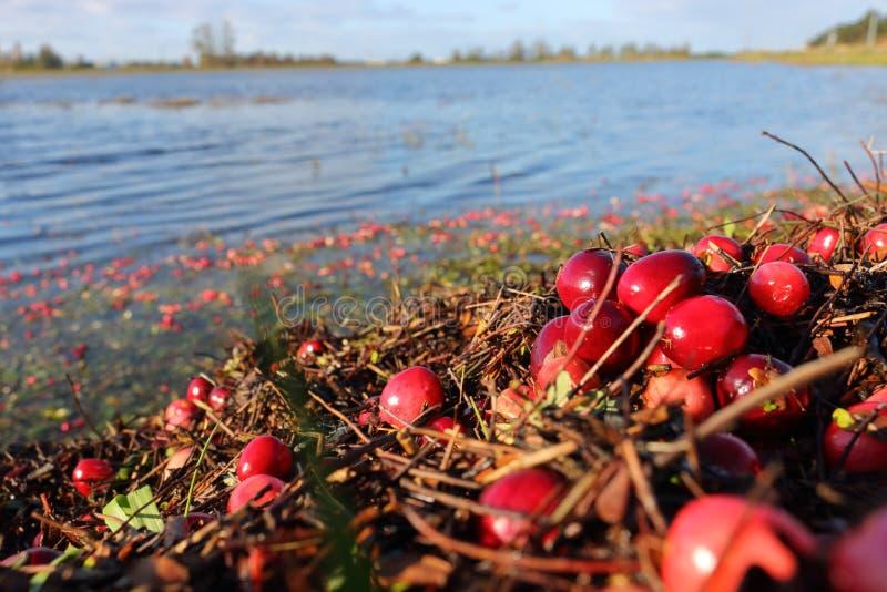 Canneberges décousues et champ inondé photographie stock libre de droits