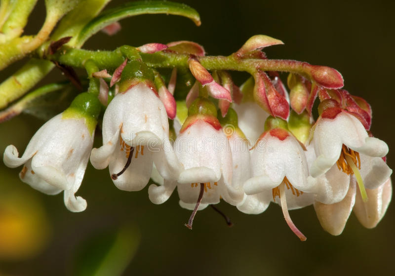 Canneberges fleurissantes images stock