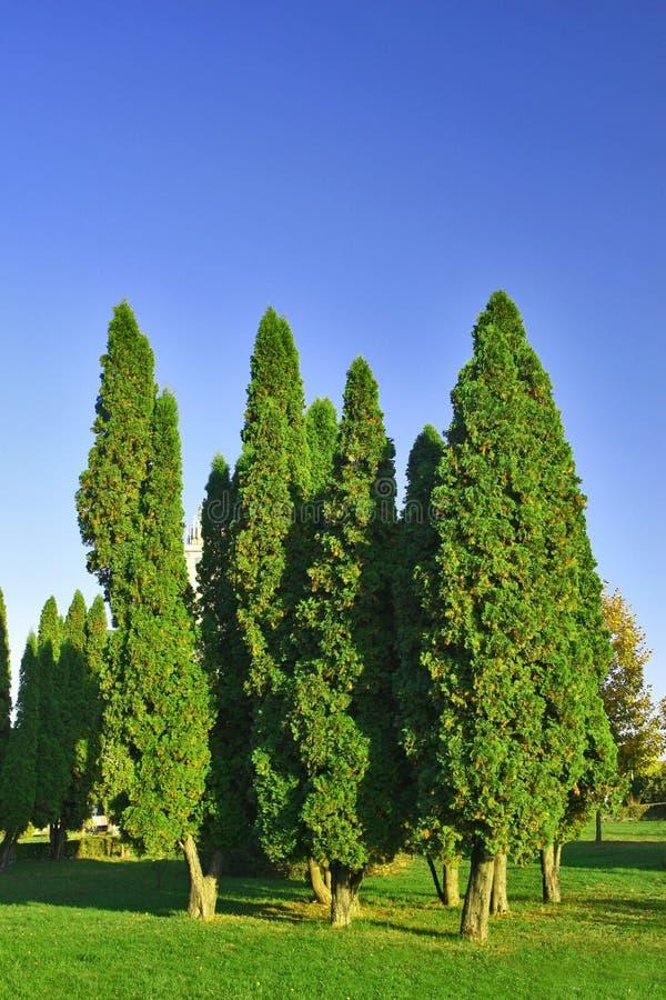 Cannelure d'arbre de sapin petite sur la plaine. images libres de droits