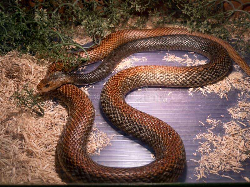 Canni scutellatus Taipan Oxyuranus Papuan στοκ φωτογραφίες