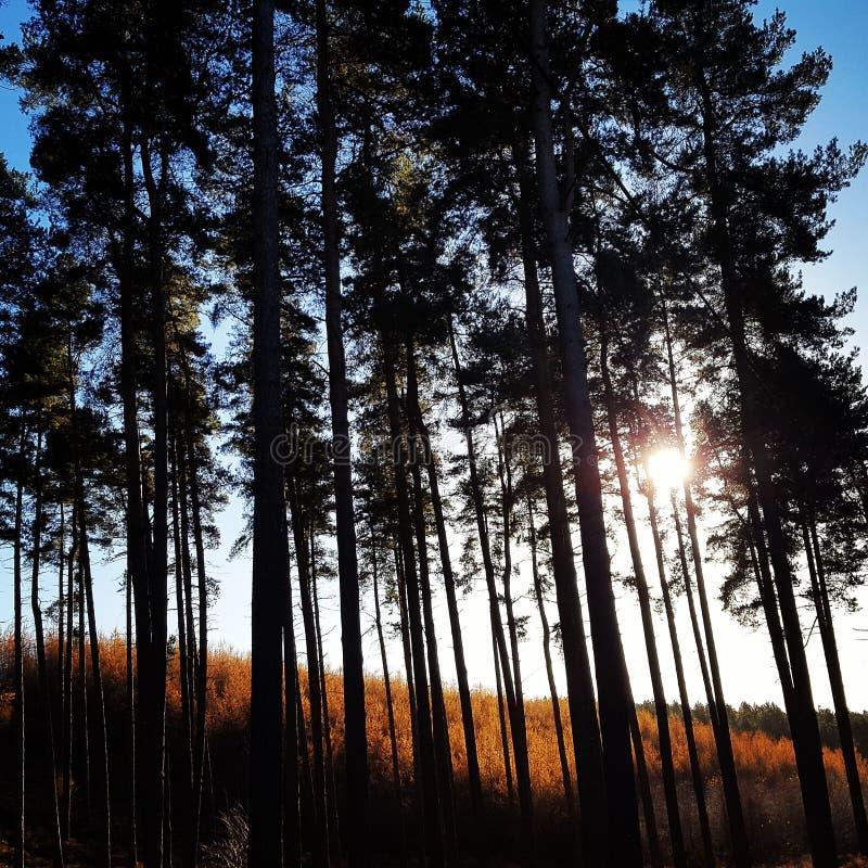 cannock Verfolgungsbäume stockfotografie