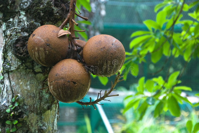cannonball δέντρο στοκ εικόνες με δικαίωμα ελεύθερης χρήσης